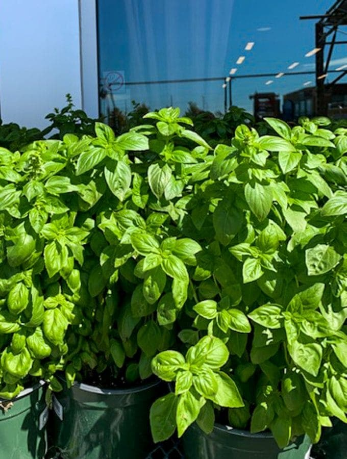 Fresh basil in pots